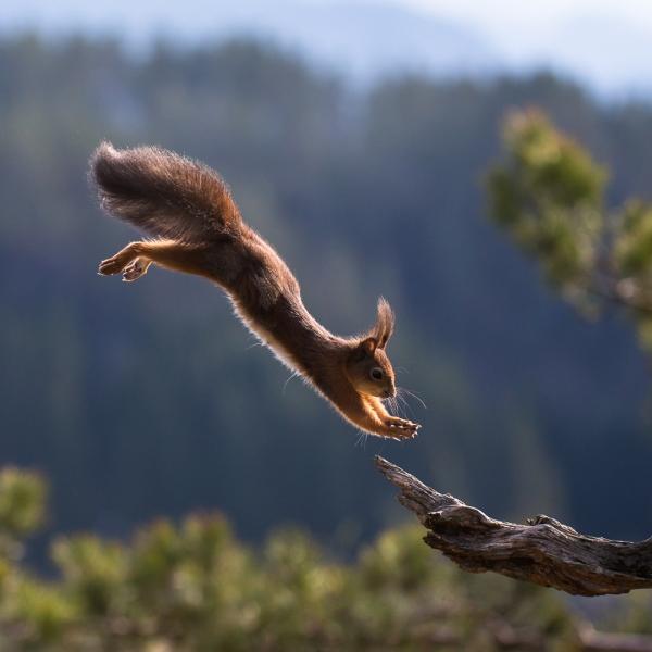 Ekorn i farten. Gull. © Rolf Selvik