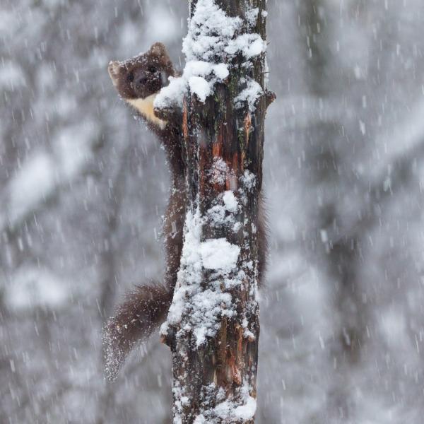 Mår i snøvær. Gull.  © Rolf Selvik