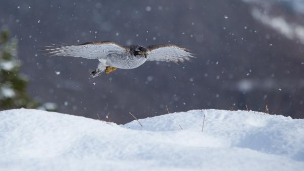Hønsehauk i flukt. 44 poeng. © Rolf Selvik