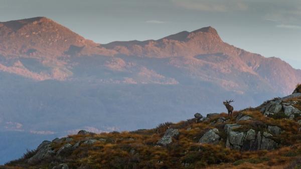 Hjortebrunst i høyfjellet. Gull.  © Rolf Selvik