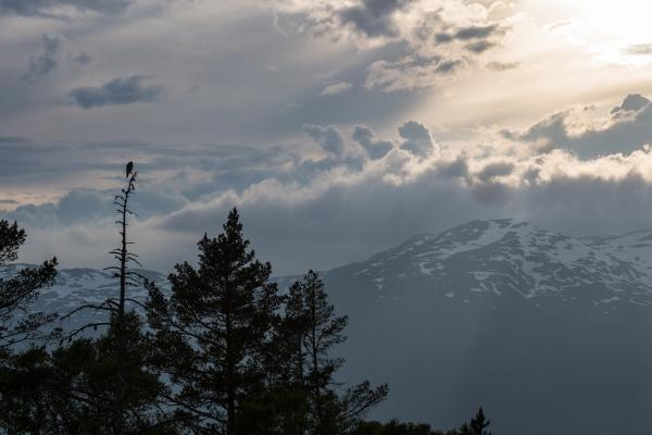 Haukugle i landskap. 39 poeng. © Rolf Selvik