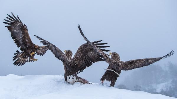Kongeørn angriper Havørnpar. 40 poeng.  © Rolf Selvik