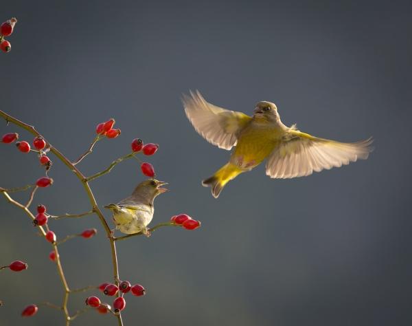 Grønnfinker. 41 poeng. © Steinar Sirevåg