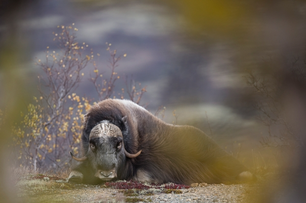 Høstmoskus. 40 poeng.  © Tom Thodesen