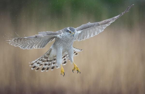 Hønsehauk inn for landing. 40 poeng. © Trond Westby