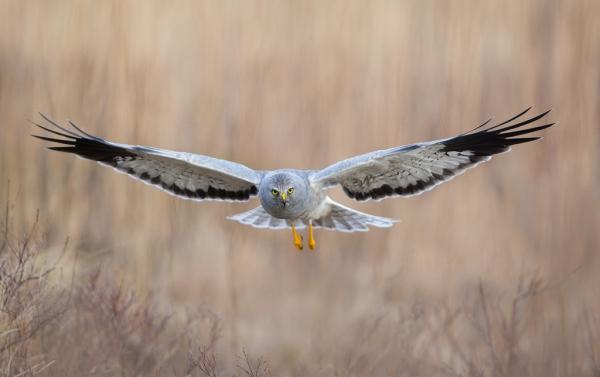 Myrhauk i mot. Gull. © Trond Westby