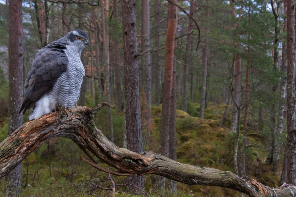 Hønsehauk i skogsmiljø. 38 poeng. © Rolf Selvik
