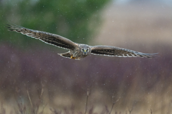 Myrhauk i hagl. 38 poeng. © Trond Westby