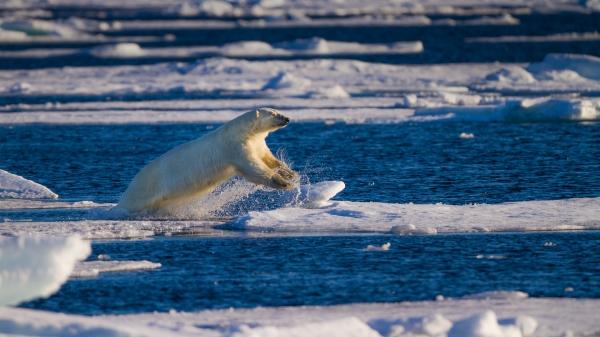 Isbjørn tar sats. 39 poeng. © Sølve Fredheim