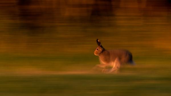 Panorert Hare.  43 poeng.  © Thorleif Hansen