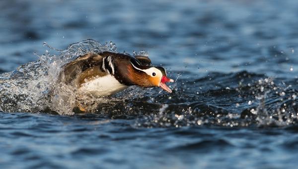 Sint Mandarinand.  Gull.  © Steffen Johnsen