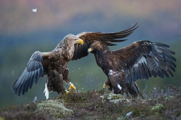 Ørnekrangel.  Gull.  © Magnar Lien