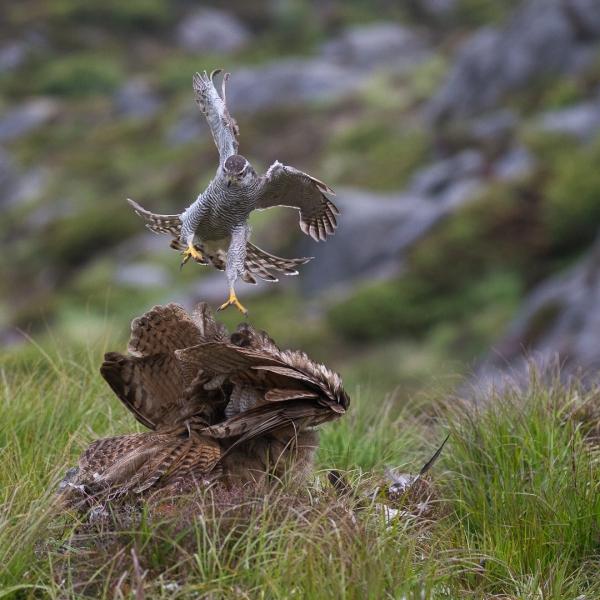 Hønsehauk angriper Hubro.  Gull.  © Rolf Selvik