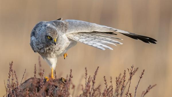 Yogahauk.  Gull.  © Cato Elvik