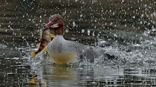 Laksand. Gull. © Ketil Knudsen