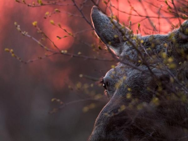 Månedens bilde: Elg og bjørk i kveldssol. Gull. © Torleif Hansen