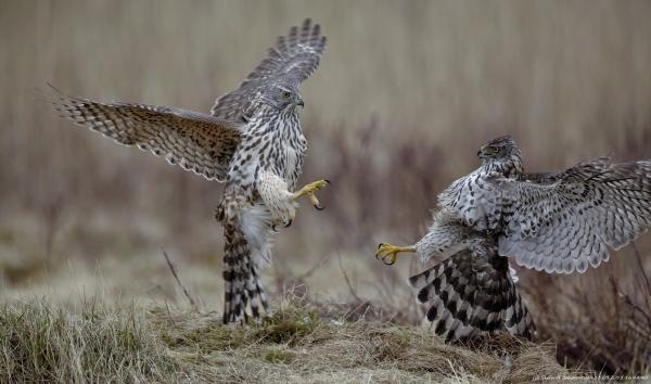 Fight - Hønsehaukkamp. 40 poeng. © Svein R. Johannessen