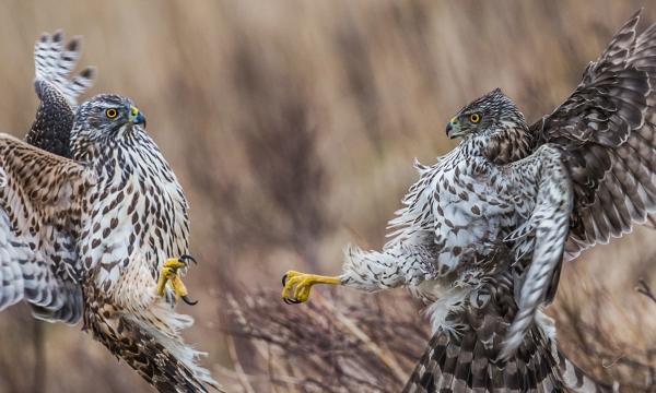 Hønsehauk kamp. Gull. © Steffen Johnsen