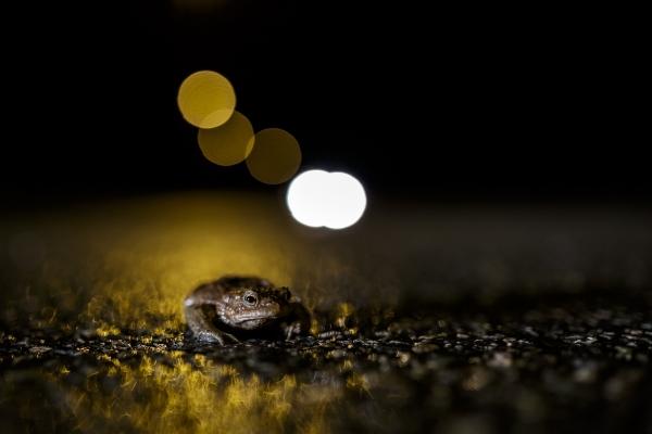 Padde i natten. 44 poeng. © Jørn Konradsen