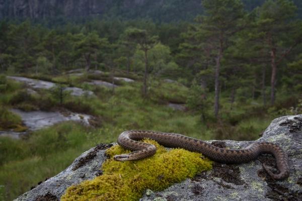 Hoggorm i miljø. Gull. © Rolf Selvik