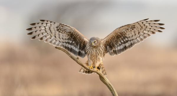 Perfekt landing - Myrhaukhunn. 38 poeng. © Cato Elvik