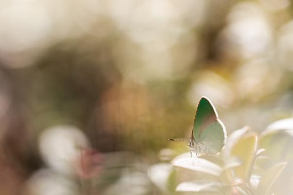 Grønnstjertvinge. 38 poeng. © Jørn Konradsen