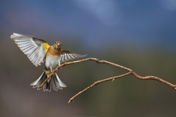 Bjørkfink lander. 38 poeng. © Rolf Selvik