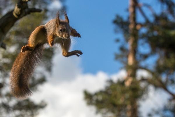 Ekornhopp. 38 poeng. © Rolf Selvik