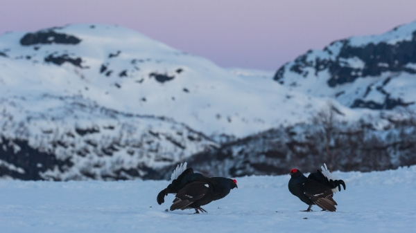 Orreleik i fjellandskap. 38 poeng. © Rolf Selvik