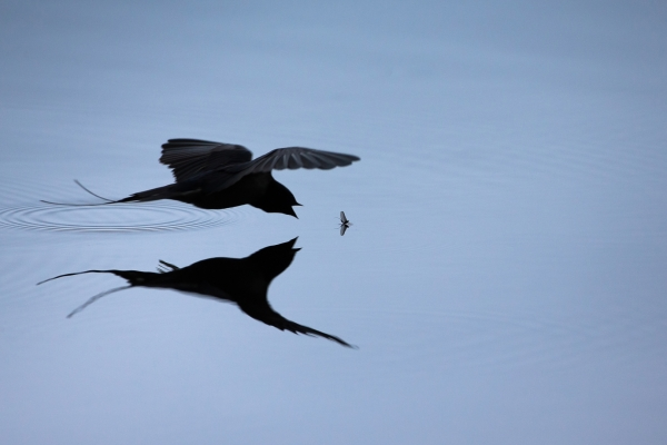 Låvesvale plukker døgnflue. Gull. © Asle Bårdli