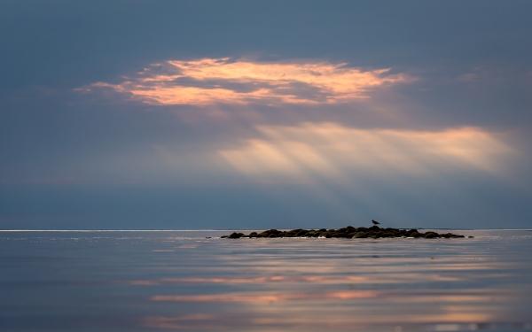 Tjeld i kveldslys. Gull. © Torleif Hansen