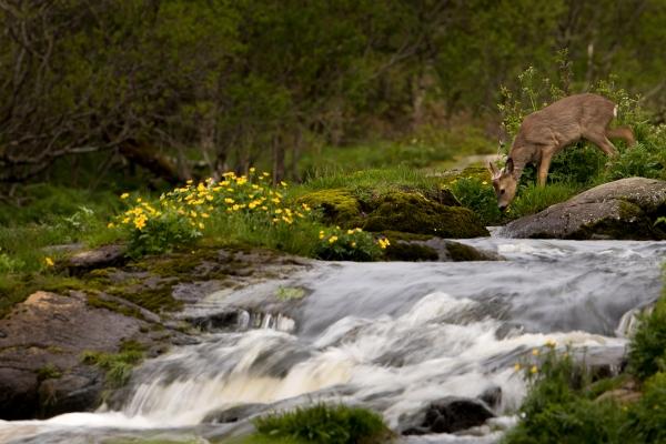 Råbukk ved elvebredden. 42 poeng. © Torleif Hansen