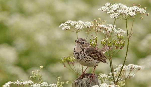 Heipip i blomsterbukett. 38 poeng. © Svein R. Johannessen