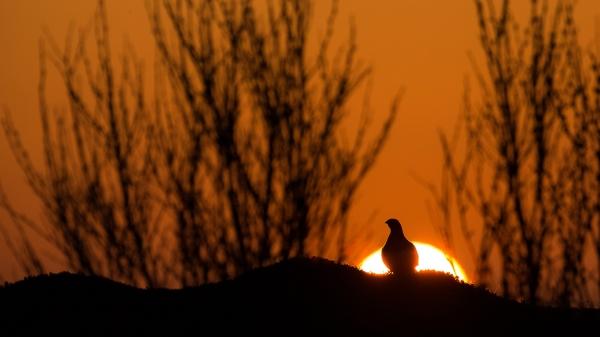 Soloppgang og rype. Gull. © Duy Ahn Pham