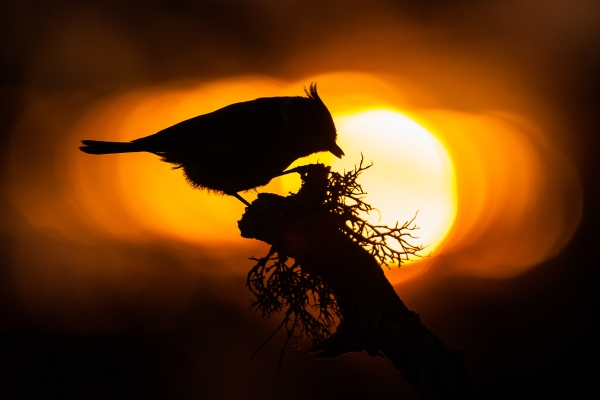 Toppmeis i solnedgang. Gull. © Rolf Selvik