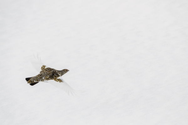 Fjellrype II. 39 poeng. © Andy Trowbridge  –