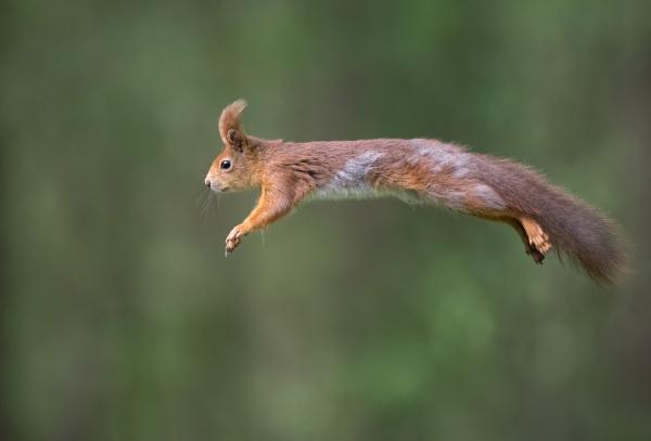 Supermann-ekorn. 38 poeng. © Trond Westby