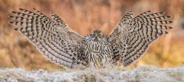 Hønsehauklanding. Gull. © Steffen Johnsen