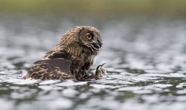 Svømmende hubro. Gull. © Steffen Johnsen