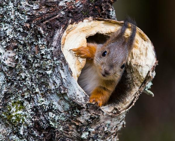 Nysgjerrig ekorn. 44 poeng. © Magnar Lien