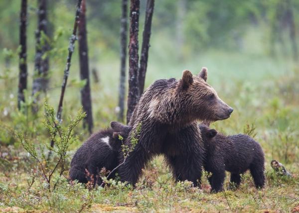 Diende bjørnunger. 43 poeng. © Duy Ahn Pham