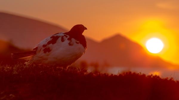 Midnattssola. Gull. © Duy Ahn Pham