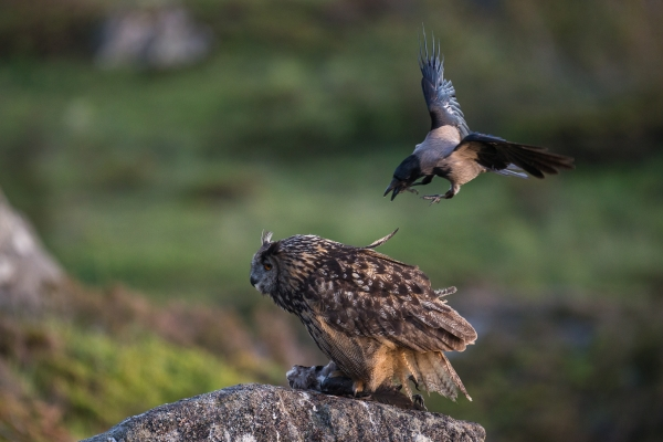 Kråke angriper Hubro. 44 poeng. © Rolf Selvik