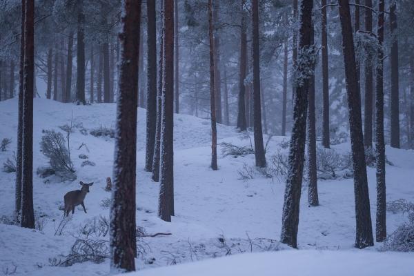 Hjort i vinterskog. 41 poeng. © Rolf Selvik