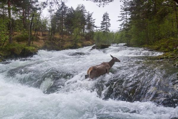 Hjort krysser flomstor elv. Gull. © Rolf Selvik