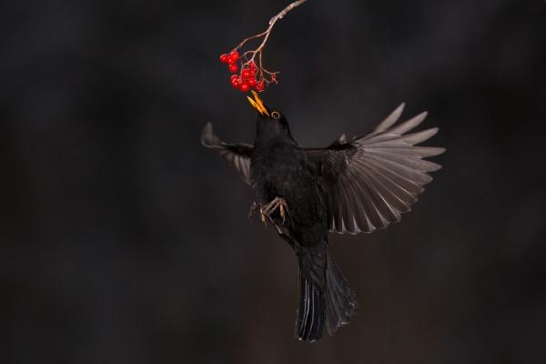 Svarttrost plukker rognebær. Gull. © Asle Bårdli