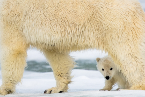 Månedens bilde: Tryggheit hjå isbjørnmor. Gull. © Øyvind Dyrdal