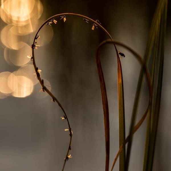 Livet i sivet. Gull. © Torleif Hansen