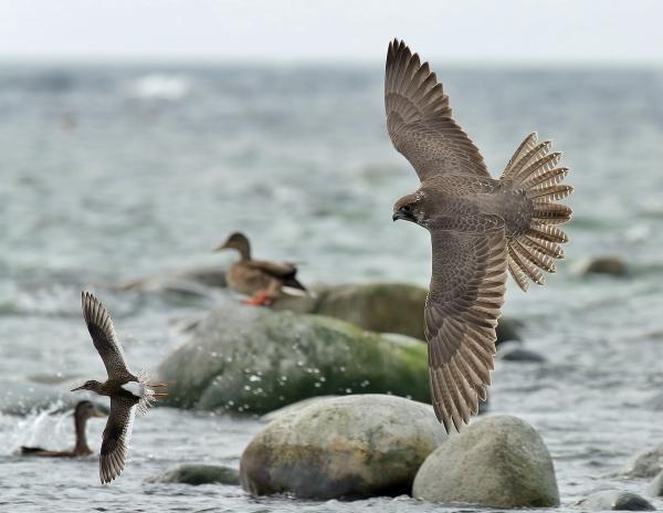 Jaktfalk etter rødstilk. Gull. © Svein Raymond Johannessen