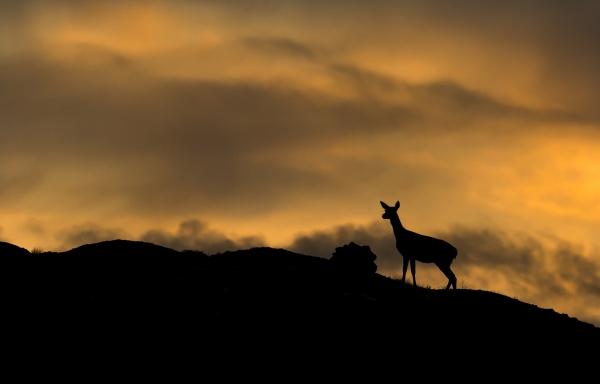 Hjort i solnedgang. 40 poeng. © Steffen Johnsen